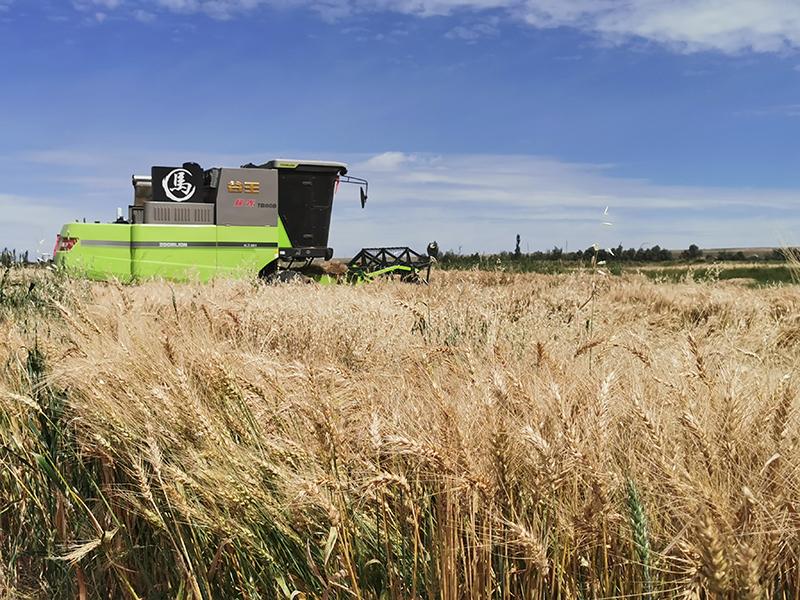 肃北小麦喜获丰收